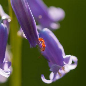 kale rode bosmier / European red wood ant