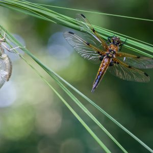 viervlek / four-spotted chaser