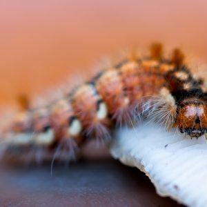 rups / caterpillar