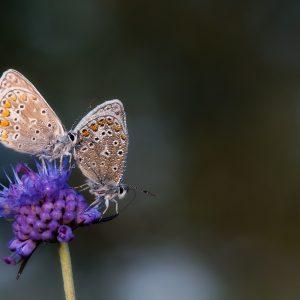 icarusblauwtje / common blue butterfly