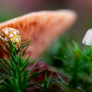 meeldauwlieveheersbeestje / orange ladybird