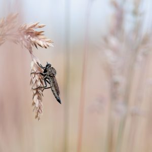 roofvlieg / robber fly