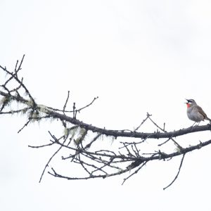 roodborstnachtegaal / ruby throat