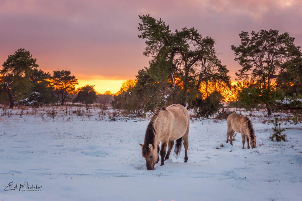 Konikpaarden in sneeuw