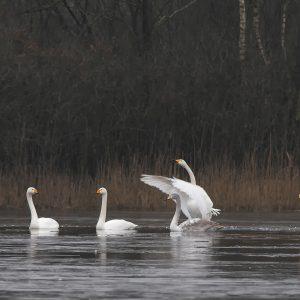 kleine zwaan / Bewick's swan