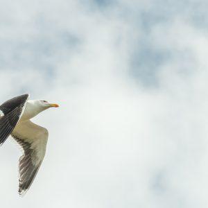 kleine mantelmeeuw / lesser black-backed gull