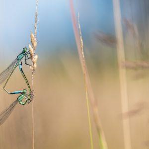 lantaarntje / Blue-tailed damselfly