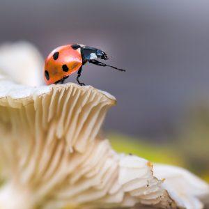 lieveheersbeestje / ladybird